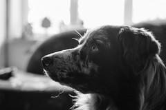 Jamie (unbunt.me) Tags: blackandwhite dog blackwhite hund bordercollie australianshepherd acros ooc fujixpro2