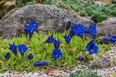 Le jardin alpin de Marinette & Jean-Luc (Pierre ESTEFFE Photo d'Art) Tags: france nature fleur plante jardin arbre alpin sauvage serre rocaille saintlylafret