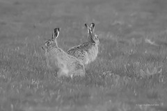 SEEING DOUBLE (Leigh-Ann Mitchell Photography) Tags: uk brown white black nature animal scotland hare wildlife scottish and