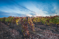 Vineyard in Fall II - Wilderotter Vineyard - Plymouth, California (Greg Mitchell Photography) Tags: vineyard color purple wire fall orange red ravel california november road foothills wine yellow county valley amador landscape sunset winery tactile evening shenandoah wilderotter autumn plymouth grape cloud nature row shan green school hayes 2013 post