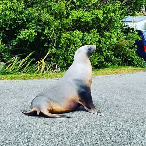 Local visitor #obantownship #sealion #summerholiday #southernroadtrip #rakiura