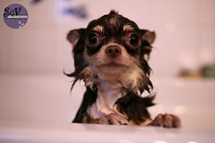 2-52 weeks of Tartuffe - Help me, pleeease! (sgv cats and dogs) Tags: chihuahua wet bath help pathetic 52weeksfordogs