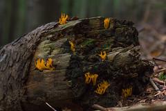 Ramaria aurea (Alessandro Iaquinta) Tags: mountain nature mushroom canon eos woods exposure natura 5d funghi fotografia fullframe dslr montagna picoftheday 24105 5dmarkiii