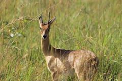 Male Oribi (www.JnyAroundTheWorld.com - Pictures & Travels) Tags: africa afrique uganda ouganda murchisonfalls nationalpark safari gamedrive wildlife fauna animals nature mammals antelope canon jnyaroundtheworld jenniferlavoura