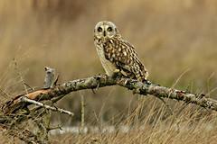 Short-eared Owl (Asio flammeus) - Washington State (bcbirdergirl) Tags: usa washington raptor wa washingtonstate shortie asio seow shortearedowl flammeus