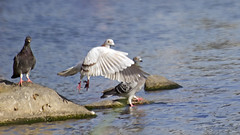 Pigeon Take Off (Johnnie Shene Photography(Thanks, 1Million+ Views)) Tags: light wild people motion colour macro bird nature animal horizontal canon lens photography eos rebel daylight fly flying interesting wings focus scenery kiss stream day slow natural image zoom outdoor no pigeon dove wildlife pigeons birding flight scenic sigma tranquility scene off apo full take theme modified midair limbs flapping awe 70300mm length effect takeoff flap tranquil adjustment doves freshness dg foreground 456 t3i x5 70300 behaviour  fragility 600d f456