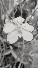 Apricot Blossom in B&W. It is traditionally celebrated Flowers for Lunar New Year in Vietnam. (korbindallaz) Tags: flower nature closeup vietnam naturephotography closeupphotography flowerphotography vietnamtravel vietnamphotograph samsungphotography samsungnote4