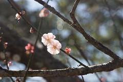 Plum Flower  (thinzaroo) Tags: bokeh plumflower flowermacro