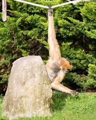 White cheeked gibbon 271215 01 (Leigh James (Fidgitydigit)) Tags: primate gibbon whitecheekedgibbon zoodelaflechefrancezoo