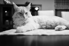 Aslan (camerue) Tags: blackandwhite pet monochrome animal table bokeh indoor depthoffield mainecoon babo leicaq