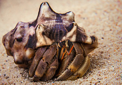"""Macho! Arent I?"" (Tortie Cat) Tags: ocean nature animals marine wildlife shell crab hermit tropics horned"