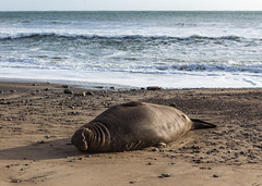 Elephant Seal at Ano Nuevo State Park-7939 ( / Jiayin Ma) Tags: california park elephant beach water 1 sand state wave route seal ao ano nuevo seaocean