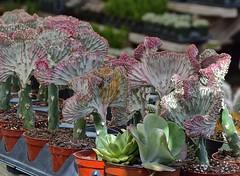 Potted cacti (ACEZandEIGHTZ) Tags: cactus pots claypots