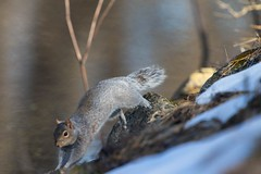 7K8A2435 (rpealit) Tags: nature field squirrel scenery wildlife gray east alumni hatchery hackettstown