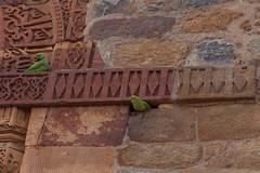 Little parrot (_NicoDem_) Tags: india canon mark delhi ii 5d complex qutub minar 2015 5dmarkii 5dmkii