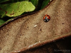 Miss Ladybug (gjaviergutierrezb) Tags: insects bugs ladybug ladybirds mariquita ladybeetles coccinellidae coccinellid coleópteros ladybirdbeetles
