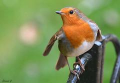 """Should I stay or should I go"" (Eleanor (No multiple invites please)) Tags: london robin fence nikond7100 february2016 kensingtongardene"