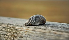 On the wood (Kai Beinert) Tags: holland beach netherlands strand sand bokeh shell makro nordsee muschel tiefenschärfe
