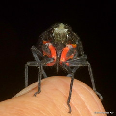 Fulgorid hopper, Menenia terebrifera (Ecuador Megadiverso) Tags: ecuador truebug hemiptera lanternbug fulgoridae fulgoridhopper meneniaterebrifera andreaskay