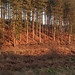 Pine trees in Cannock Chase