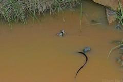Common tree snake (Dendrelaphis punctulata) (shaneblackfnq) Tags: tree green water creek eating reptile snake north australia frog queensland tropical common far tropics fnq julatten litoria punctulata shaneblack dendrelaphis