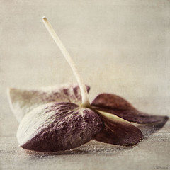 Survivor (Ro Cafe) Tags: stilllife wilted hydrangea textured nikond600 nikkormicro105f28
