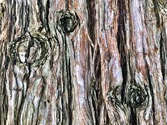 Redwood Bark (RobW_) Tags: saturday hydro bark redwood february stellenbosch westerncape 2016 27feb2016
