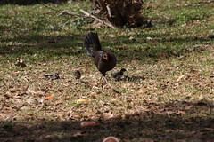 Canon201769 (godrudy6661) Tags: chickens chicken neworleans ninthward wildchicken feralchicken