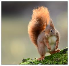 godzilla (guiguid45) Tags: nature nikon squirrel animaux forêt écureuil sauvage loiret mammifères 500mmf4 d810