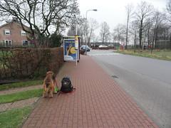 2016-0084 (schuttermajoor) Tags: nederland hond che 2016 airedaleterrier sintgeertruid ommetjenederland
