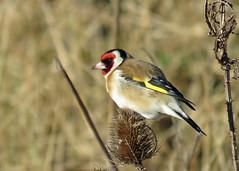 Goldfinch - Carduelis carduelis (erdragonfly) Tags: cardueliscarduelis