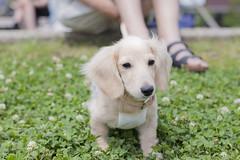 IMG_4154 (yukichinoko) Tags: dog puppy dachshund 犬 kinako 子犬 ダックスフント ダックスフンド きなこ
