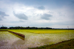 Fields, Assam (Paul Nicodemus) Tags: travel people mountains rain clouds landscapes skies azure adventure journey solo odyssey assam himalayas valleys unplanned tawang natives bomdila tezpur westbengal arunachalpradesh bumlapass selapass paulartography paulnicodemus