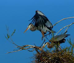 Something Below (Ronald Day) Tags: colorado mating lakewood belmar greatblueheron nesting nuptial nestbuilding courtship ardeaherodias plummage kountzelake