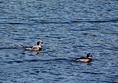 Long-tailed Ducks. (jimbrownrosyth) Tags: