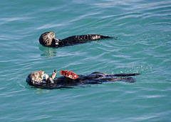 Fine Dining (Steve Corey) Tags: ca morrobay seaotters tableforone crabeating otterfamily stevecorey
