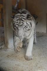 Sherkan - le tigre blanc (Johanna Viala) Tags: zoo animaux beauval tigreblanc zooparcdebeauval