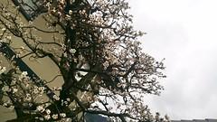 Japanese Plum (ume) Blossoms@Arashiyama (cw's) Tags: japanese plum arashiyama cherryblossom umeblossoms