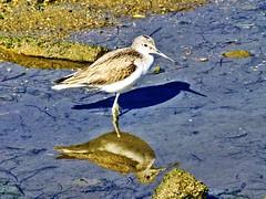 (K@spa) Tags: bird nature river natureza pssaro ave algarve ria riaformosa joo kspa jooreganha reganha