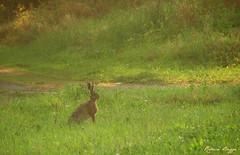 The hare (DameBoudicca) Tags: grass hare sweden schweden erba pasto gras sverige hase suecia herbe sude  svezia  grs  livre liebre lepre kard