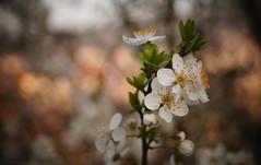 Blossom (Okan AKGL) Tags: white plant flower spring dof blossom bokeh outdoor sony depthoffield bahar iek alpha58