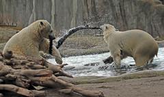 Polarbear Blijdorp JN6A3108 (j.a.kok) Tags: bear beer blijdorp polarbear ijsbeer ursusmaritimus