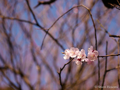 Youkihi (Shiori Hosomi) Tags: flowers plants japan tokyo march   prunus  rosales 2016 rosaceae        23