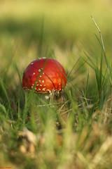 BB5A0971 (joa_bauer) Tags: mushroom fly toadstool agaric pilz fliegenpilz flyagaric