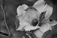 you don't have to be perfect... (armykat) Tags: flowers blackandwhite bw monochrome gardens petals magnolia magnolias wilting tulipmagnolia saucermagnolia winterthur wilmingtondelaware natureycrap winterthurdelaware winterthurgardensandcountryestate