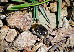 Tropinota squalida / Hairy rose beetle / Blatthornkfer Tropinota squalida (katunchik) Tags: scarabaeidae tropinota squalida taxonomy:class=insecta taxonomy:family=scarabaeidae taxonomy:binomial=tropinotasqualida taxonomy:genus=tropinota taxonomy:tribe=cetoniini geo:country=bulgaria