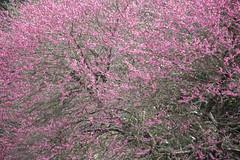 201603133459 (K.masao) Tags: flowers nature hydrangea redplum japanmasaokatayama