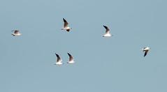IMG_9288 Brown-headed Gull (suebmtl) Tags: thailand gull brownheadedgull larusbrunnicephalus phetchaburiprovince pakthale