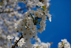 Spring (Sareni) Tags: blue light sky white tree colors spring branches slovenia slovenija aprile mb maribor belo twop nebo drvo prolece boje 2011 svetlost granje plavo sareni