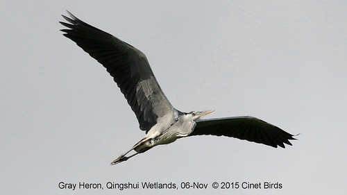 Heron, Gray, 20151106 (4) copy